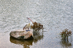 Spot billed pelican Royalty Free Stock Images