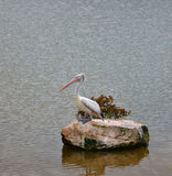 Spot billed pelican Royalty Free Stock Photo