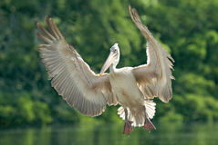 Spot-billed pelican in flight Royalty Free Stock Images