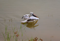 Spot billed pelican float on the water Royalty Free Stock Image