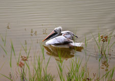 Spot billed pelican float on the water Stock Photography