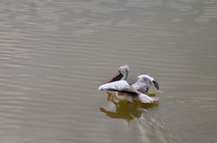 Spot billed pelican float on the water Stock Photos