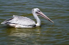 The spot-billed pelican or grey pelican. Is a member of the pelican family. It breeds in southern Asia from southern Pakistan across India east to Indonesia. It royalty free stock image