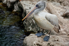 Spot-billed Pelican or Grey Pelican Stock Images
