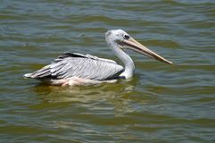 The spot-billed pelican or grey pelican in lake. The spot-billed pelican or grey pelican. It live Asia Pakistan, India, Indonesia. It is a bird of large inland royalty free stock photos