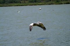 The flight of the pelican over the water. The spot-billed pelican or grey pelican. It live Asia Pakistan, India, Indonesia. It is a bird of large inland and stock images