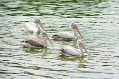 The spot-billed pelican, grey pelican Pelecanus philippensis swimming in the pond. Stock Photo