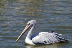 The spot-billed pelican in the lake. The spot-billed pelican or grey pelican live Asia Pakistan, India, Indonesia. It is a bird of large inland and coastal stock photography