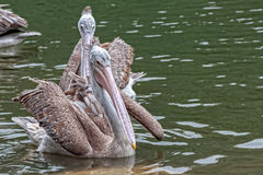 Spot-billed Pelican in the Lake Stock Photography