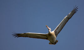Spot-billed pelican Royalty Free Stock Images