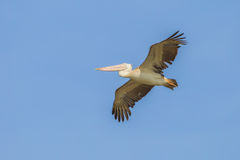 Spot-billed pelican Royalty Free Stock Image