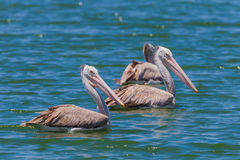 Spot-billed pelican( Pelecanus philippensis) Royalty Free Stock Photos