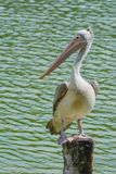 Spot-billed pelican (Pelecanus philippensis) on tree stum. Spot-billed pelican (Pelecanus philippensis) stands on tree stump near water Royalty Free Stock Photography