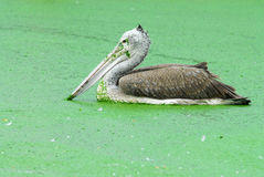 Spot Billed Pelican Royalty Free Stock Photography