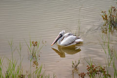 Spot billed pelican in pond Royalty Free Stock Image