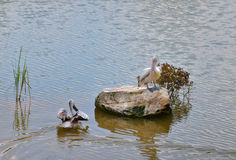 Spot billed pelican in pond Royalty Free Stock Images