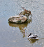 Spot billed pelican in pond Royalty Free Stock Photo
