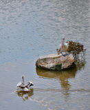 Spot billed pelican in pond Royalty Free Stock Photos