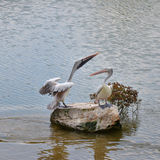 Spot billed pelican On rocks Stock Images
