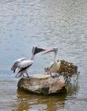 Spot billed pelican Stock Photos