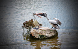 Spot billed pelican Stock Photos