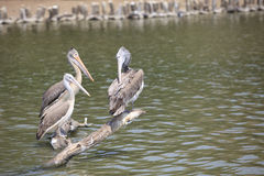 Spot billed pelican Stock Image