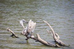 Spot billed pelican Royalty Free Stock Photos