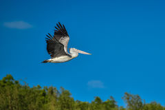 Spot-billed Pelican were flying Stock Image