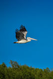 Spot-billed Pelican were flying Royalty Free Stock Photos