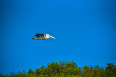 Spot-billed Pelican were flying Royalty Free Stock Image