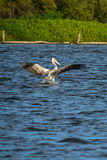 Spot-billed Pelican were flying Stock Photos