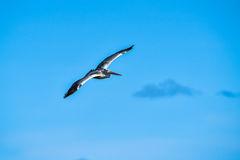 Spot-billed Pelican were flying Royalty Free Stock Photo