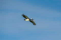 Spot-billed Pelican were flying Stock Photo