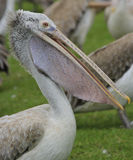 Spot-billed Pelicans Stock Image