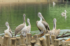 Spot Billed Pelicans Stock Photography