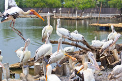 Spot-billed pelicans royalty free stock photo