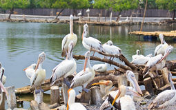 Spot-billed pelicans royalty free stock image
