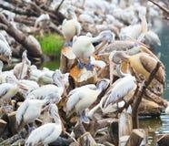 Spot-billed pelicans stock photo