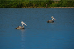 Spot-billed Pelicans in the nature Royalty Free Stock Images