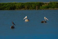 Spot-billed Pelicans in the nature Stock Images