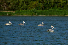 Spot-billed Pelicans in the nature Stock Photos