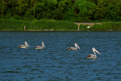 Spot-billed Pelicans in the nature Royalty Free Stock Image