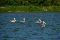 Spot-billed Pelicans in the nature Stock Image