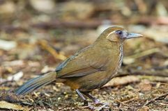 Spot-breasted Laughingthrush Royalty Free Stock Photos