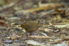Spot-breasted Laughingthrush Royalty Free Stock Image