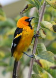 Spot-breasted oriole Stock Photo