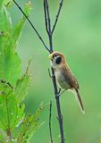 Spot-breasted Parrotbill Stock Images