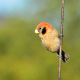 Spot-breasted Parrotbill Stock Photography
