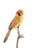 Spot-breasted Parrotbill Royalty Free Stock Images