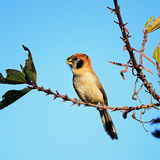Spot-breasted Parrotbill Royalty Free Stock Photography